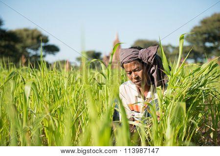 Portrait of a Asian Burmese farmer with turban working under hot sun at corn field.
