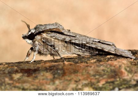 Grey dagger (Actronicta psi) moth