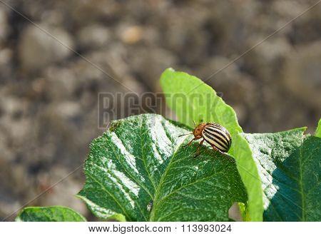Colorado Bug On Potato Leaf