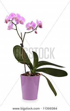 Beaufitul Pink Orchid