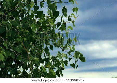 Fresh Green Leaves & the Sky