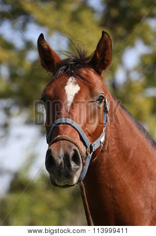 Portrait Of Beautiful Arabian Horse In Summer Corral