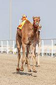 Постер, плакат: Racing Camels In Qatar