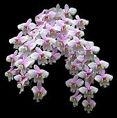 Spray Of Orchids