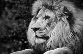 ������, ������: Strong contrast black and white of a male lion in a kingly pose