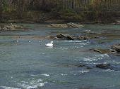 Swan Among Ducks