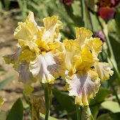 Постер, плакат: Two Yellow Irises