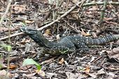 stock photo of goanna  - The Lace Monitor pauses for a moment to consider whether I was edible but continues on in search of something more its own size - JPG