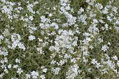 Snow-in-summer Wild Flowers Shade poster