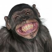 stock photo of chimp  - Close - JPG