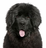 stock photo of newfoundland puppy  - Close - JPG