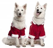 pic of santa-claus  - Berger Blanc Suisse dogs or White Swiss Shepherd Dogs wearing Santa outfits sitting in front of white background - JPG