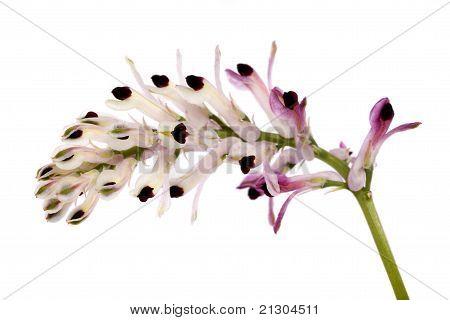 Fumaria Flower