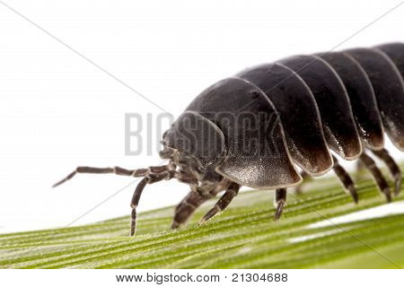 Woodlice Bug