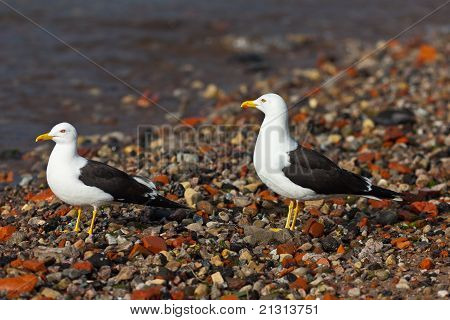 Two Seagulls On Seacoast