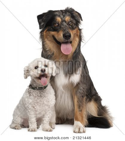Australian Shepherd dog, 17 months old, and Bichon Frise, 8 years old, sitting in front of white background