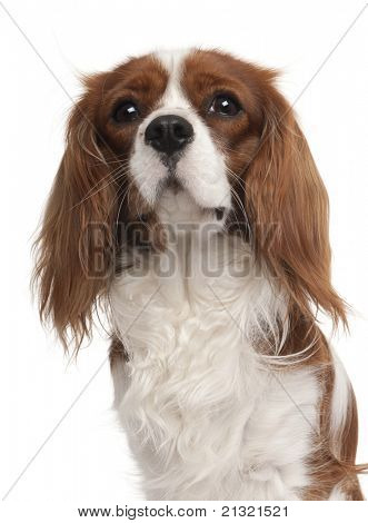 Close-up of Cavalier King Charles Spaniel, 1 year old, in front of white background
