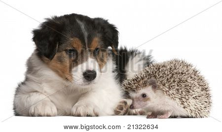 Border Collie puppy, 6 weeks old, playing with a hedgehog, 6 months old, in front of white background
