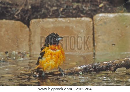Baltimore Oriole   035 J