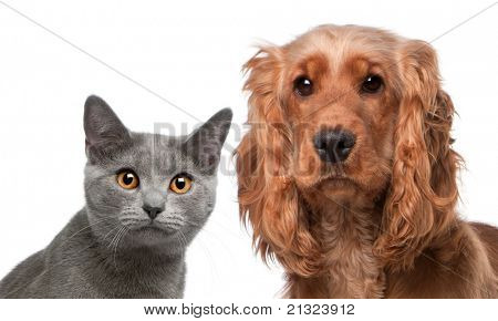 Chartreux cat, 5 months old, and a English Cocker Spaniel, 2 years old, in front of white background