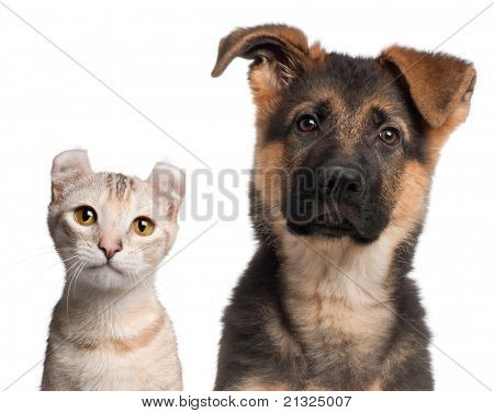German Shepherd puppy, 3 months old and a American Curl kitten, 7 months old, in front of white background