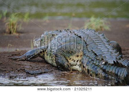 American Crocodile sunbathing