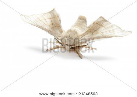 Schmetterling Seidenraupe Seide worm isolierten auf weißen Hintergrund