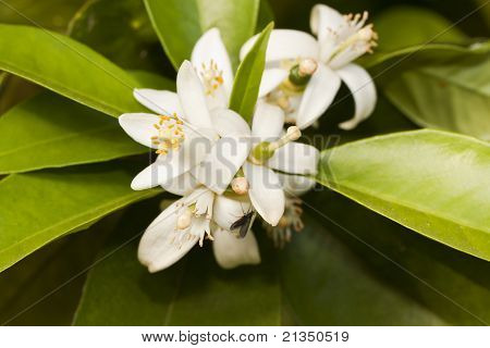 Blooming Flower From Orange Tree