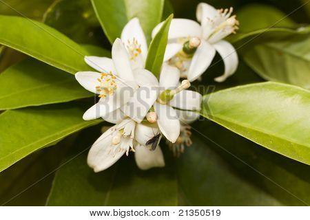 Blooming Flower From Orange Tree