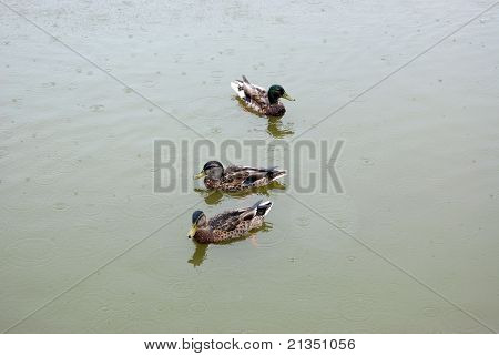 Ducks In The Rain