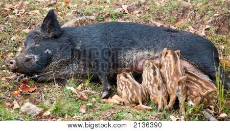 Wild Pig Feeding Her Piglets