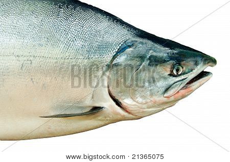 Fresh Big Salmon. Oncorhynchus Masou