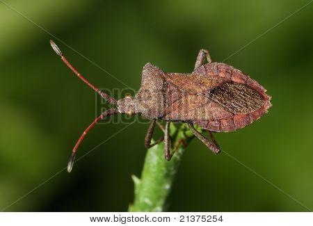 Squash Bug Coreus Marginatus