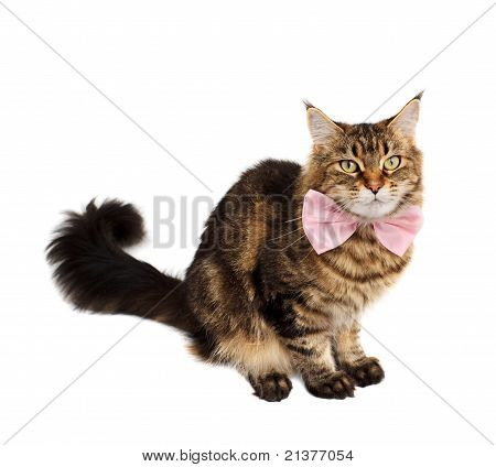Tabby Cat With Bow