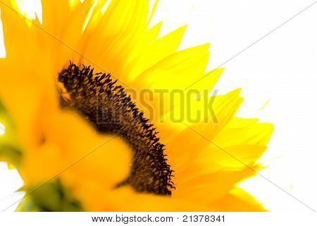 Overexposed Sunflower