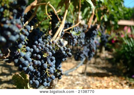 Cabernet Sauvignon Grapes On The Vine.  California.
