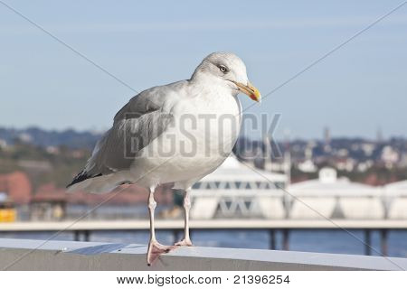 Seagull Resting At The Coast