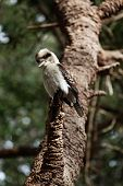 foto of blue winged kookaburra  - The Laughing Kookaburr on a tree - JPG