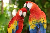 stock photo of endangered species  - a pair of scarlet macaws clean one another - JPG