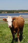 foto of feedlot  - Simmental or possible hereford beef animal in a country paddock overlooking a river - JPG