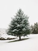 stock photo of blue spruce  - Blue spruce tree stands in falling snow at a local park in Grand Junction Colorado in December