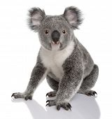 Young koala, Phascolarctos cinereus, 14 months old, sitting in front of white background poster