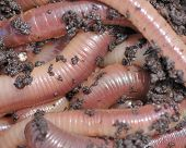 foto of nightcrawler  - Nightcrawler earth worms used for fishing bait - JPG