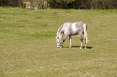 stock photo of dapple-grey  - Gray dapple horse grazing in the meadow - JPG