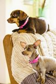 Little Dogs Chilling On Sofa poster