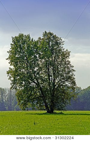 Baum breitblätterige Frühling