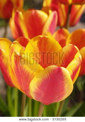 Tulipanes élite Apeldoorn