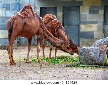 Kamele im Zoo