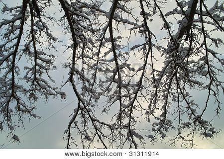 Snow On Tree Brances On Sky Background
