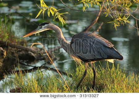 Great Blue Heron - Everglades National Park, Florida